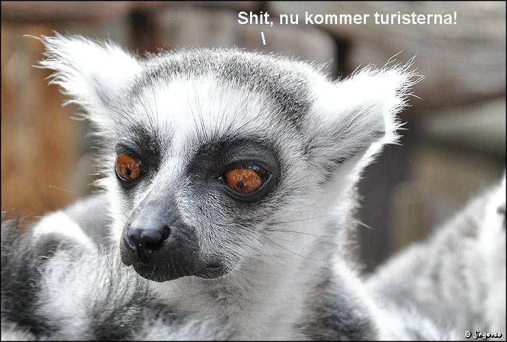 Lemur, Skansen