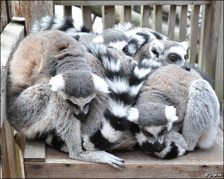 Hur sover Lemurer? Dagens bild